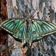 Graellsia hembra sobre pino