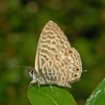 Lycaenidae_-_Leptotes_pirithous-