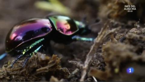 Curiosidades del escarabajo pelotero en Aquí la Tierra